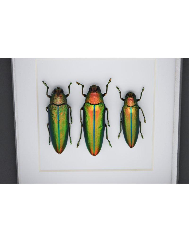 Nature Deco Jewel beetle in luxury 3D frame 12 x 12 cm
