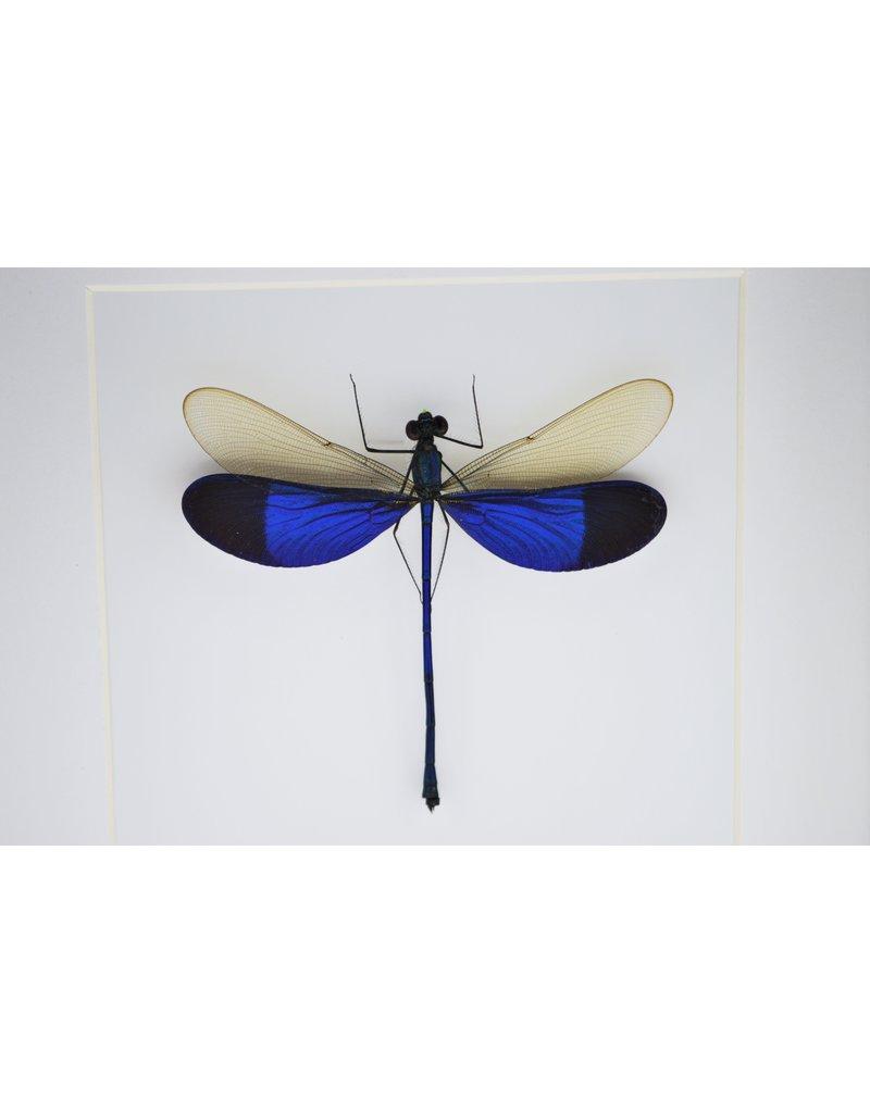Nature Deco Blauwe libel in luxe 3D lijst 17 x 17cm