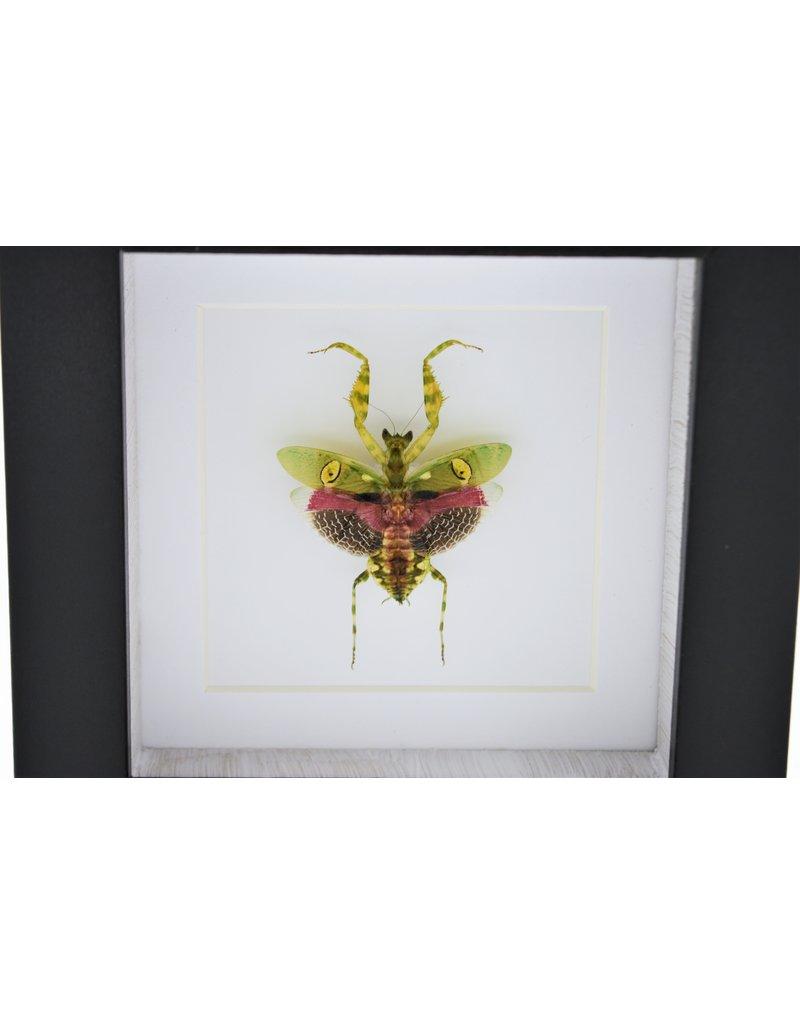 Nature Deco Bidsprinkhaan in luxe 3D lijst 12 x 12cm