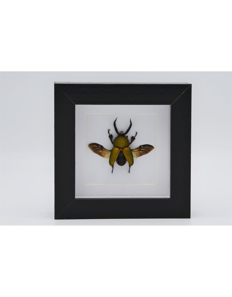 Nature Deco Lamprima adolphinae in luxury 3D frame 12 x 12cm