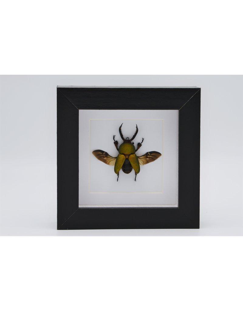 Nature Deco Lamprima adolphinae in luxury 3D frame 12 x 12cm