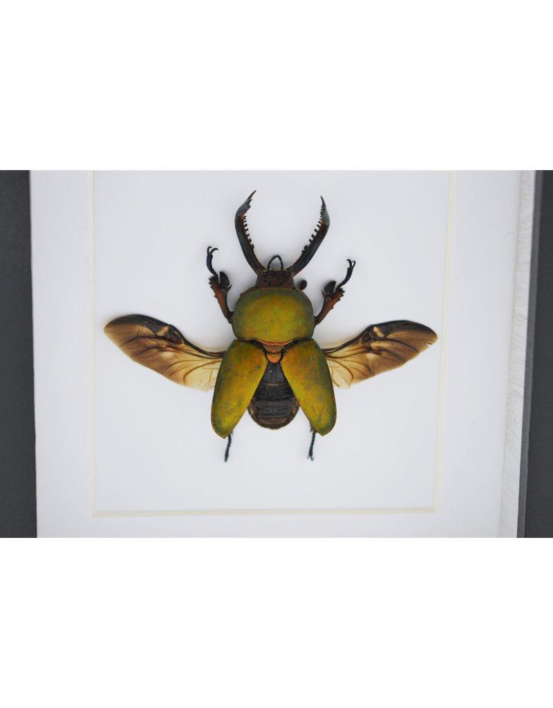 Nature Deco Lamprima adolphinae in luxe 3D lijst 12 x 12cm