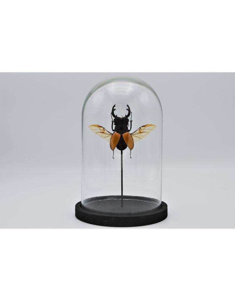 Nature Deco Odontolabis Elegans in glass dome 21 x 14cm