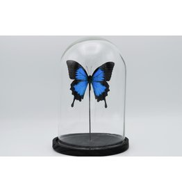 Nature Deco Papilio Ulysess in glass dome