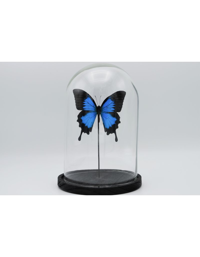 Nature Deco Papilio Ulysess in stolp  24,5 x 17cm