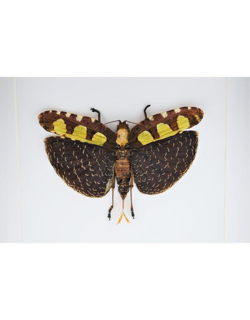 Nature Deco Sabelsprinkhaan in luxe 3D lijst 22 x 22cm