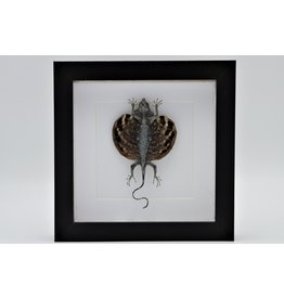 Nature Deco Draco Volans (flying dragon) in luxury 3D frame