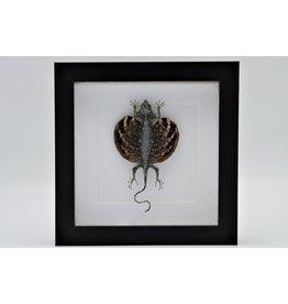 Nature Deco Draco Volans (vliegend draakje) in luxe 3D lijst