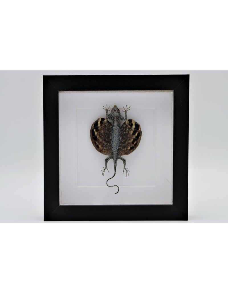 Nature Deco Draco Volans Volans (flying dragon) in luxury 3D frame 17 x 17cm