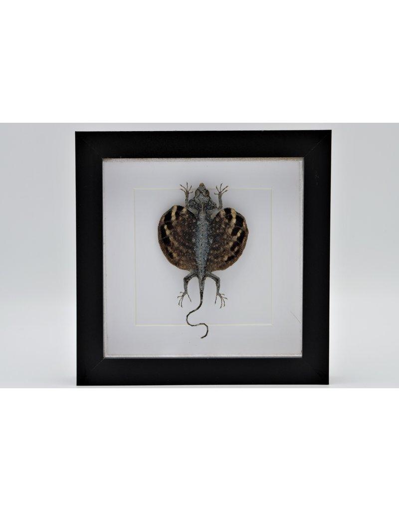 Nature Deco Draco Volans Volans (vliegend draakje) in luxe 3D lijst 17 x 17cm