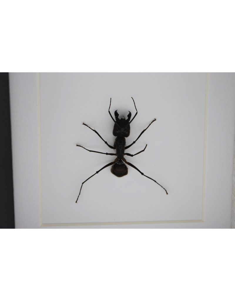Nature Deco Bullet ant in luxury 3D frame 12 x 12cm