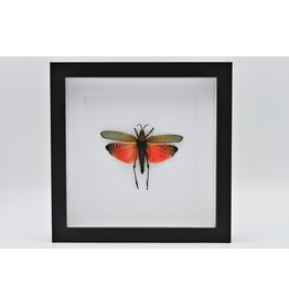 Nature Deco Grasshopper (Phymateus Saxosus) in luxury 3D frame