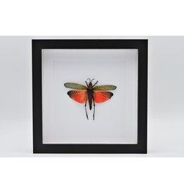 Nature Deco Sprinkhaan (Phymateus Saxosus) in luxe 3D lijst