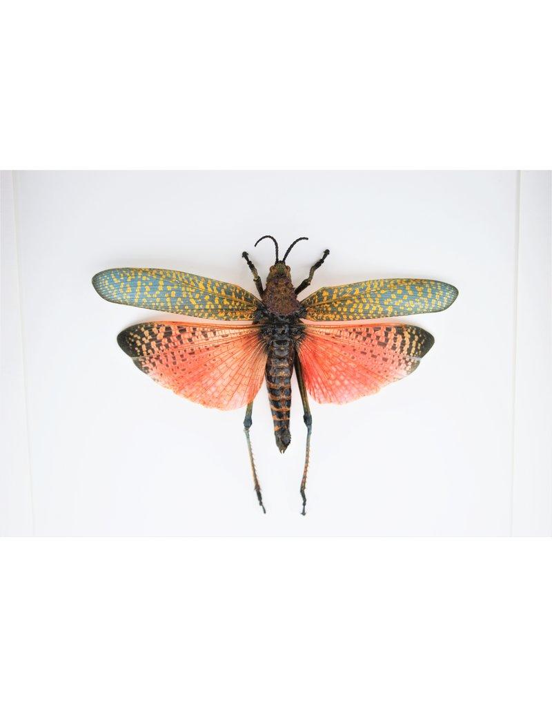 Nature Deco Grasshopper (Phymateus Saxosus) in luxury 3D frame 22 x 22cm