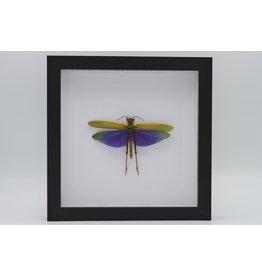 Nature Deco Paarse sprinkhaan (Lophacris Albipes) in luxe 3D lijst