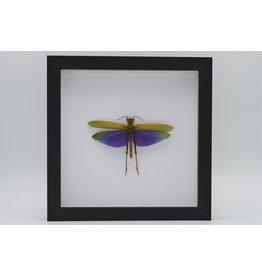 Nature Deco Purple grasshopper (Lophacris Albipes) in luxury 3D frame