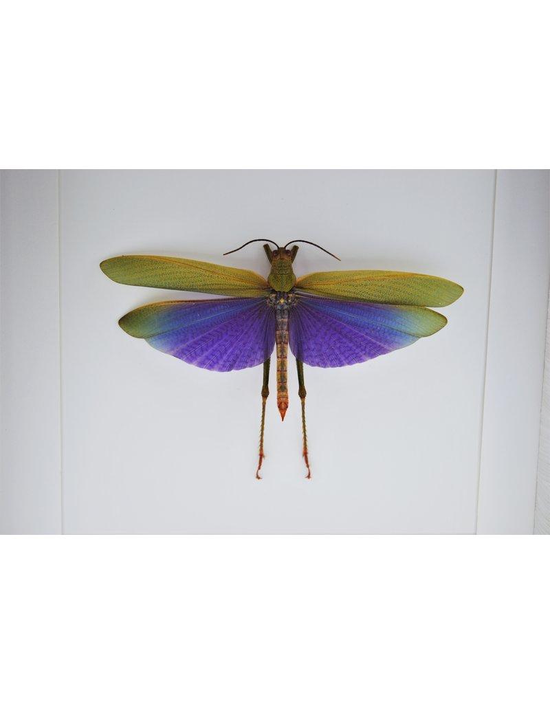 Nature Deco Paarse sprinkhaan (Lophacris Albipes) in luxe 3D lijst 22 x 22cm