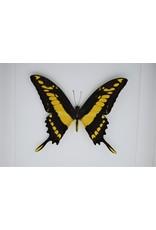 Nature Deco Papilio Thoas in luxe 3D lijst 22 x 22cm