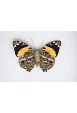 Nature Deco  Smyrna Blomfildia in luxury 3D frame 17 x17cm