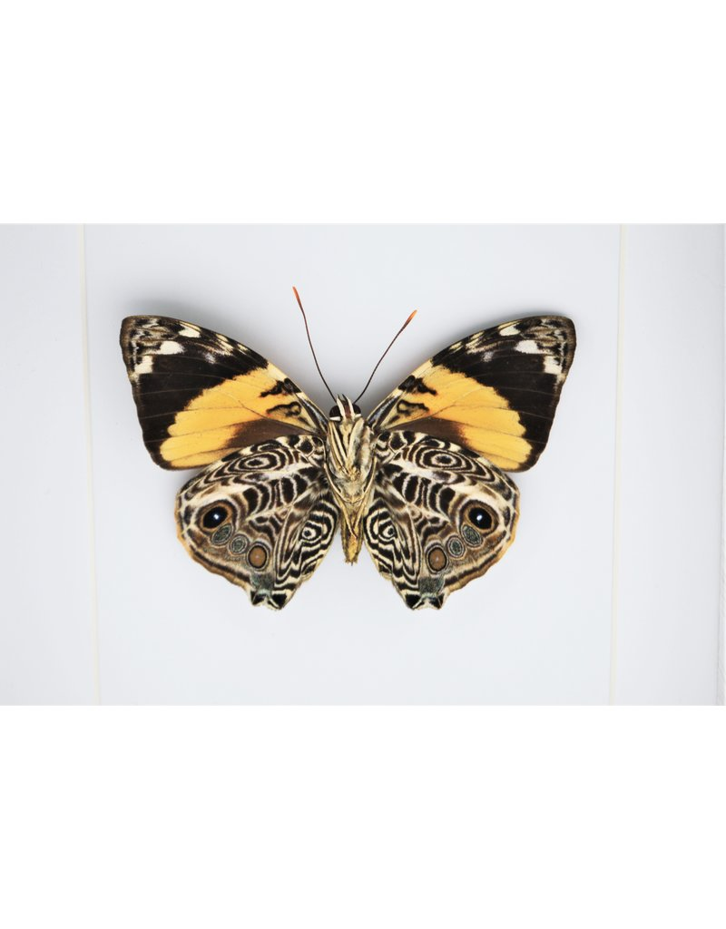 Nature Deco  Smyrna Blomfildia in luxe 3D lijst 17 x17cm