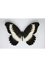 Nature Deco Papilio Mechowianus in luxe 3D lijst 17 x 17cm