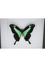 Nature Deco Papilio Phorcas in luxe 3D lijst 17 x 17cm