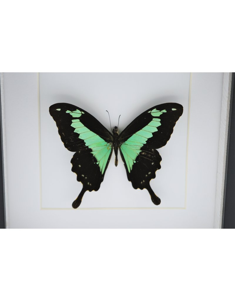 Nature Deco Papilio Phorcas in luxury 3D frame 17 x 17cm