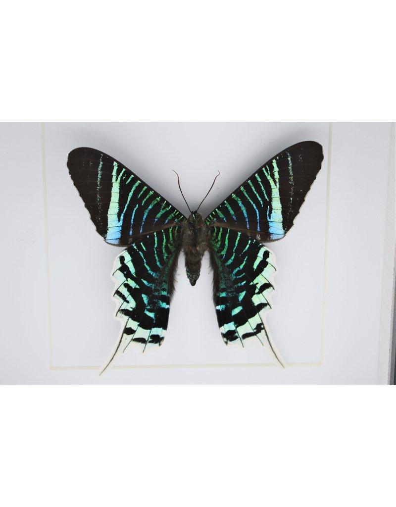 Nature Deco Urania Leilus onderkant in luxe 3D lijst 17 x 17cm