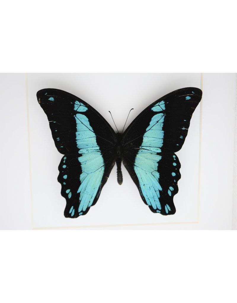 Nature Deco Papilio Bromius in luxury 3D frame 17 x 17cm
