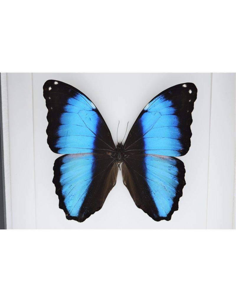 Nature Deco Morpho Deidamia in luxe 3D lijst  22 x 22cm