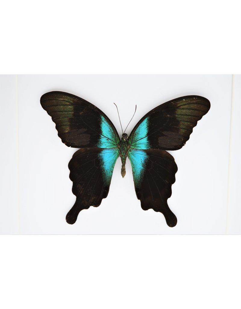 Nature Deco Papilio Peranthus Adamantius in luxury 3D frame 22 x 22cm