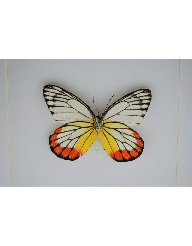 Nature Deco Delias Hyparete in luxury 3D frame 17 x 17cm