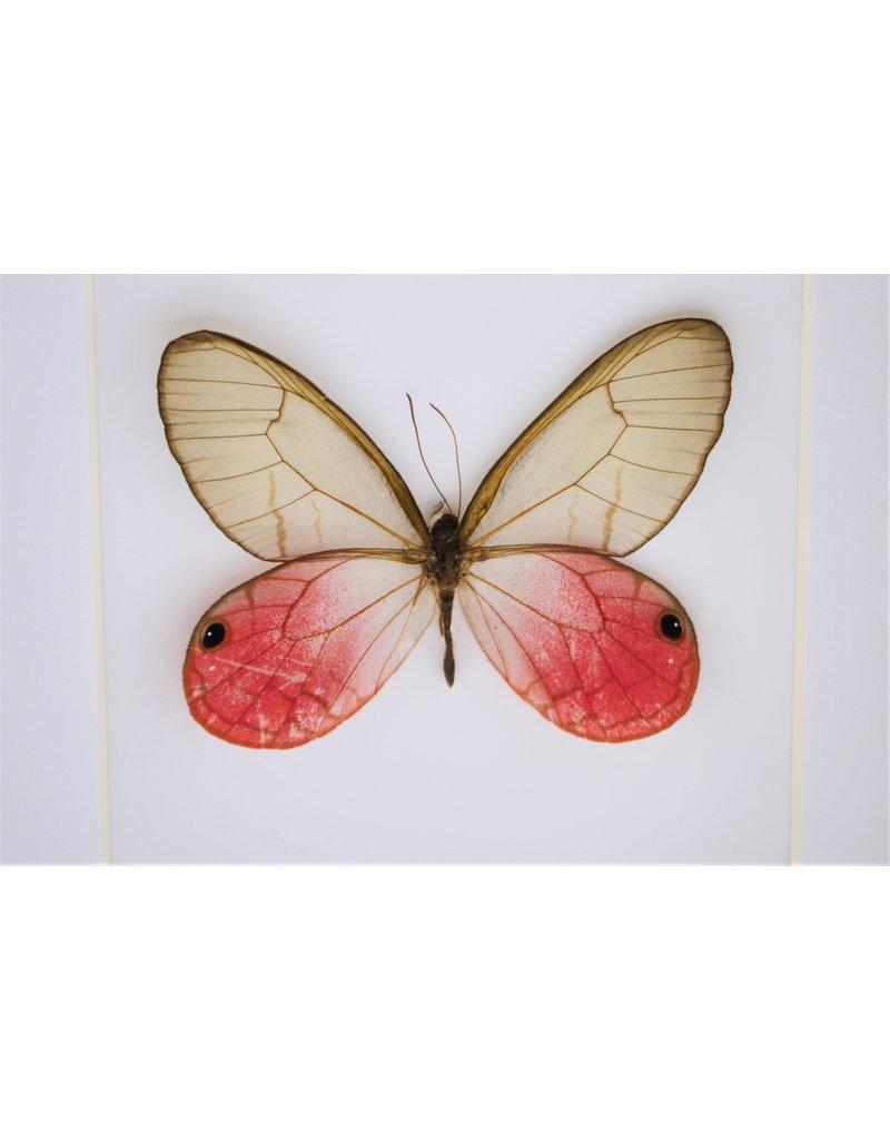 Nature Deco Cithaeria Aurorina in luxury 3D frame  12 x 12cm