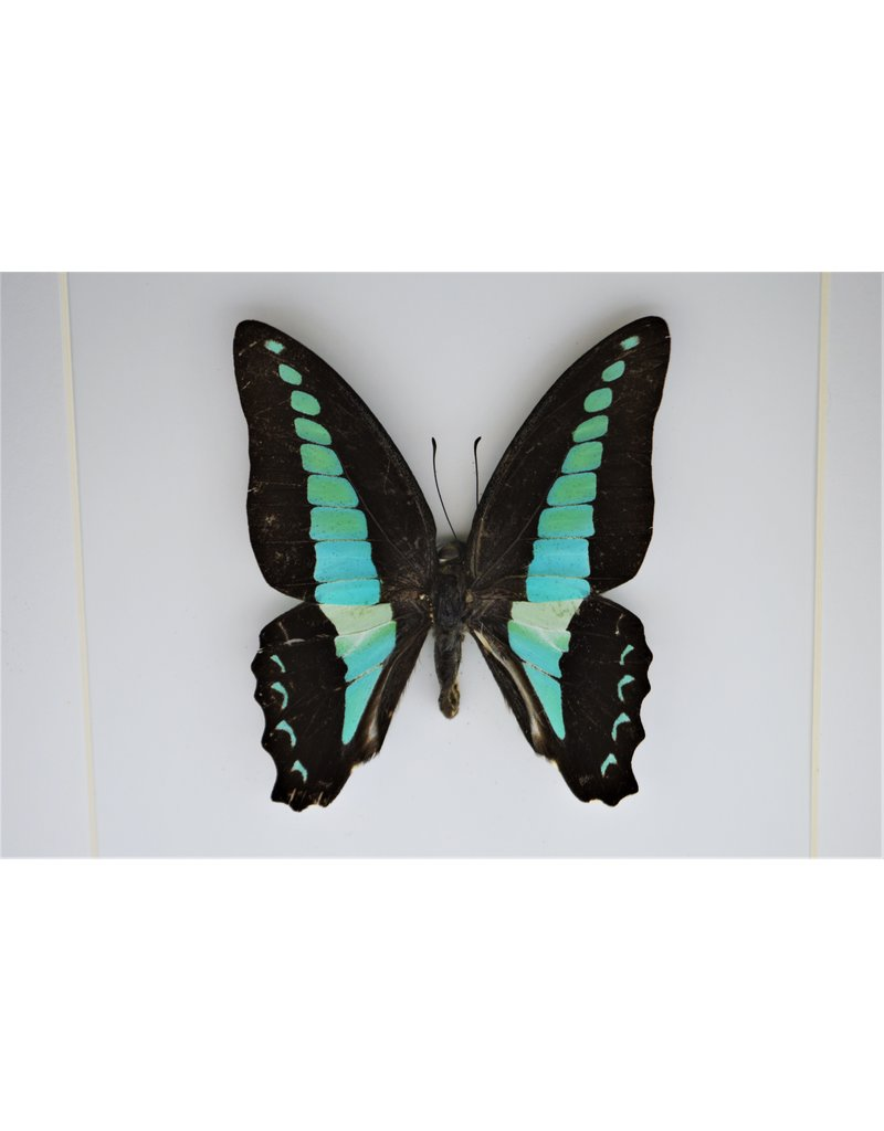Nature Deco Graphium Sarpedon in luxury 3D frame