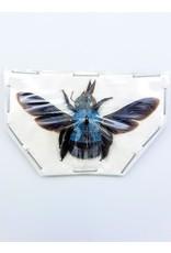 . (Un)mounted Xylocopa caerulea (blue bee)