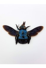 . (On)geprepareerde Xylocopa caerulea (blauwe bij)