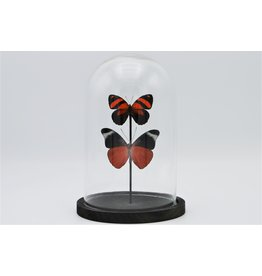 . Glass dome with 2 red butterflies