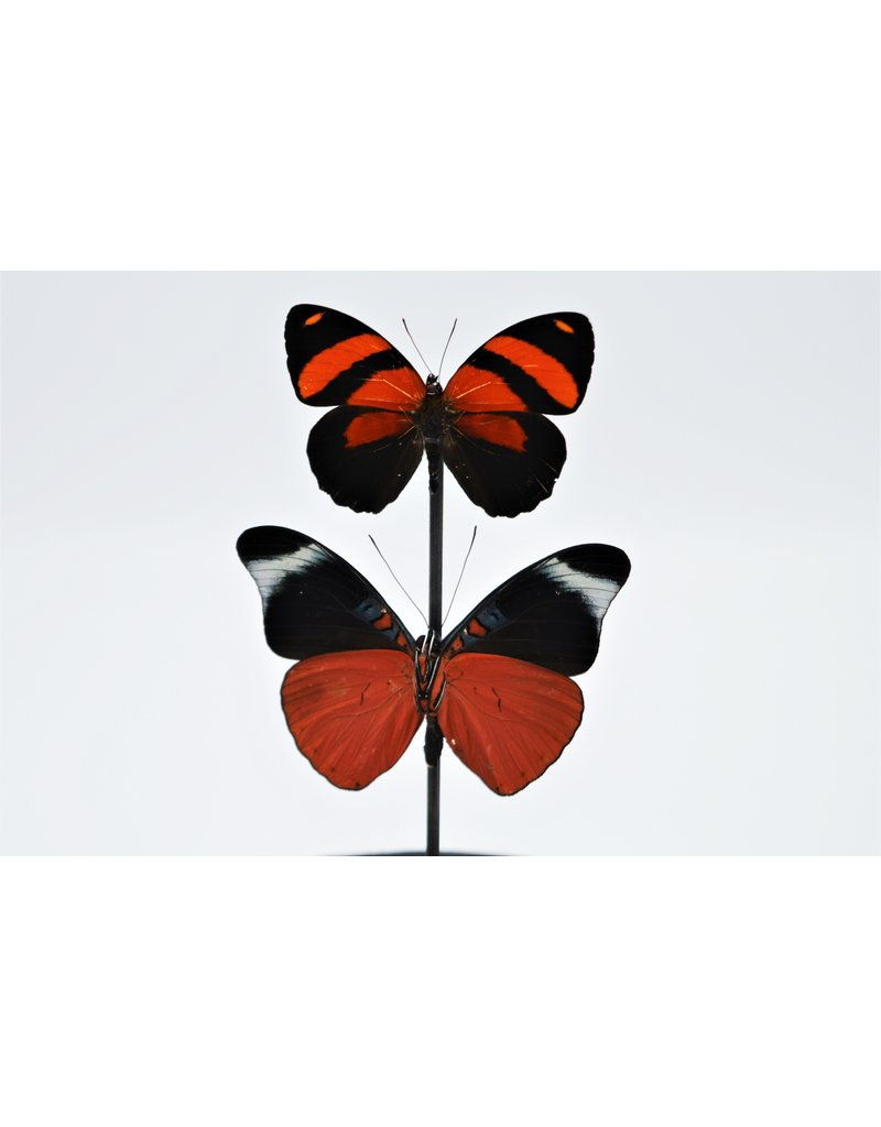 . Glass dome with 2 red butterflies 21 x 14cm
