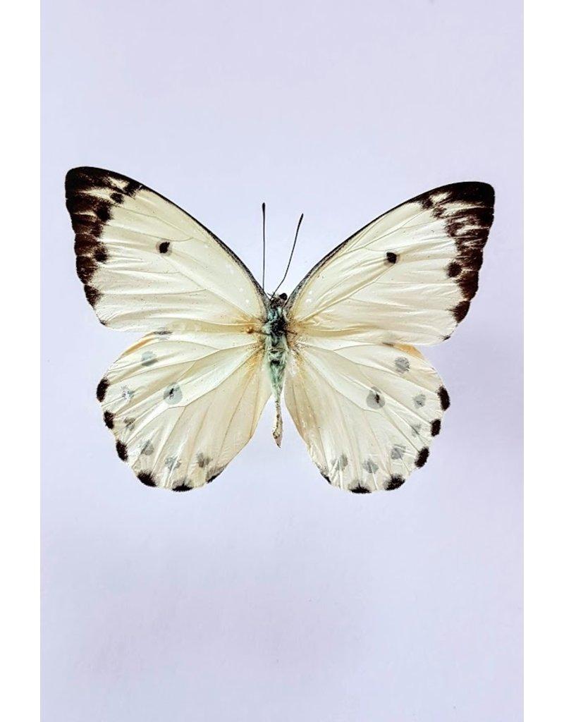 . Unmounted Belenois Calypso