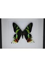 Nature Deco Urania Ripheus bovenkant in luxe 3D lijst 17 x 17cm