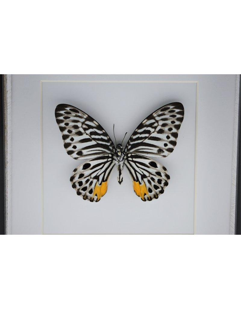 Nature Deco Graphium Delessertii onderkant in luxe 3D lijst 17 x 17cm