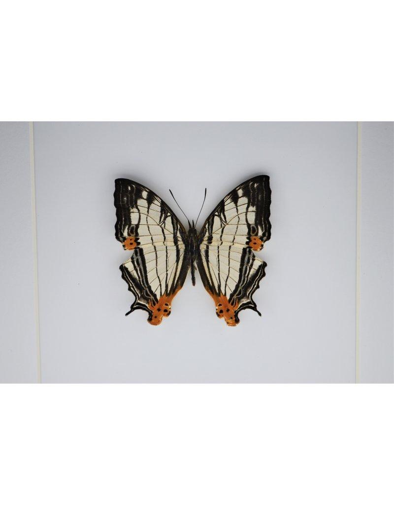 Nature Deco Cyrestis Thyodamas in luxe 3D lijst 17 x 17cm