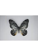 Nature Deco Graphium Delessertii  upside in luxury 3D frame 17 x 17cm