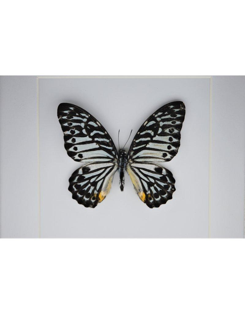 Nature Deco Graphium Delessertii  bovenkant in luxe 3D lijst 17 x 17cm