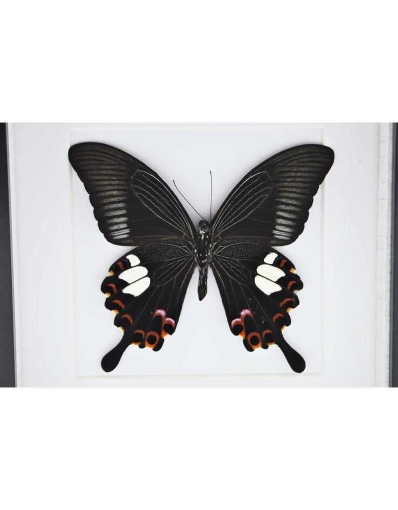 Nature Deco Papilio Helenus in luxe 3D lijst 17 x 17cm