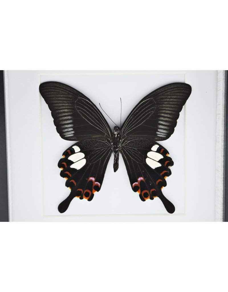 Nature Deco Papilio Helenus in luxury 3D frame 17 x 17cm