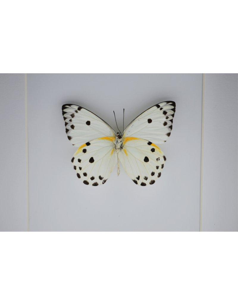 Nature Deco Belenois Calypso in luxe 3D lijst 17 x 17cm