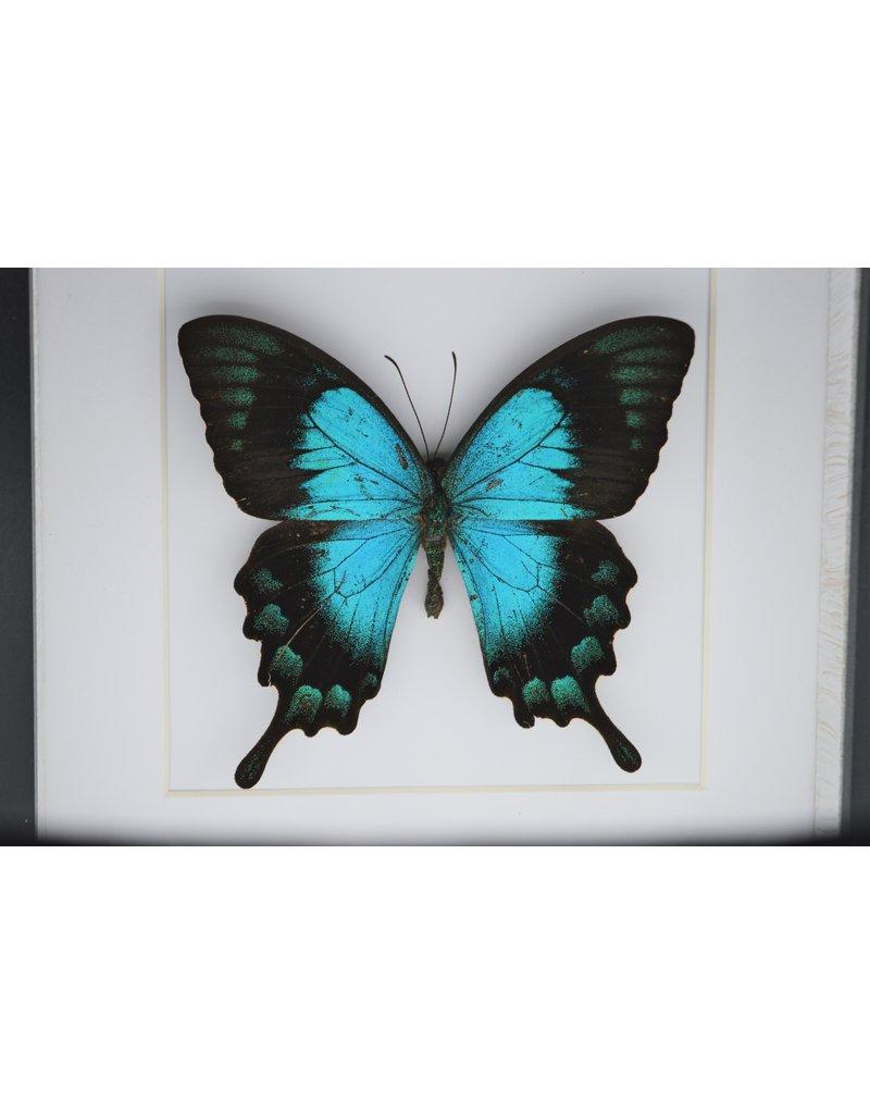 Nature Deco Papilio Lorquinianus in luxe 3D lijst 17 x 17cm
