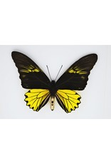 Nature Deco Troides Cuneifera male in luxury 3D frame  22 x 22cm