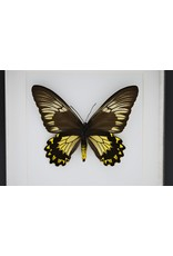 Nature Deco Troides Cuneifera vrouw in luxe 3D lijst 22 x 22cm